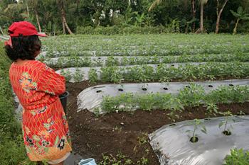 Plantación de tomate, Jogyakarta, Indonesia