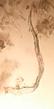 Cerva-L-03-01-nematodo