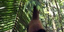 Simio en las orillas del río Dulce, Livingston, Guatemala