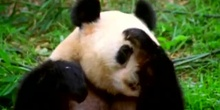 Sneezing Panda