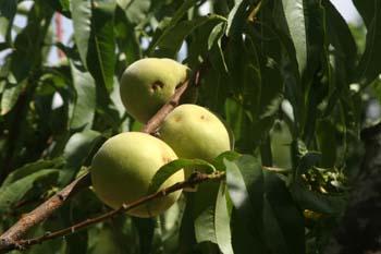Melocotonero - Fruto (Prunus persica)