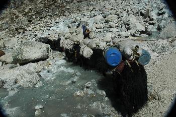 Yaks cargando equipo de una expedición