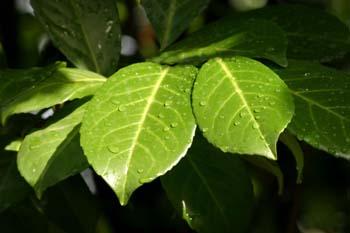 Lauroceraso - Hoja (Prunus laurocerasus)
