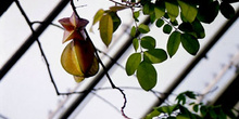 Fruto del Tamarindo chino (Averrhoa carambola)