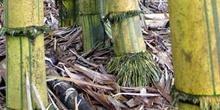 Troncos de bambú, Ecuador