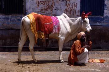 Hombre con vaca adornada, Pushkr, India