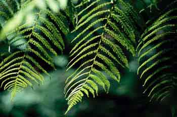 Detalle de varias hojas de helecho