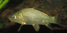 Carpa (Ciprinus carpio)