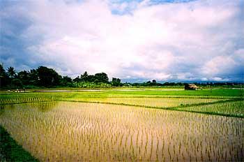 Campos de arroz, Tailandia