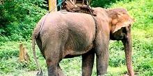 Elefante asiático: cuerpo entero, Tailandia
