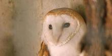 Lechuza común (Tyto alba)