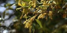 Alcornoque - Flor masc. (Quercus suber)