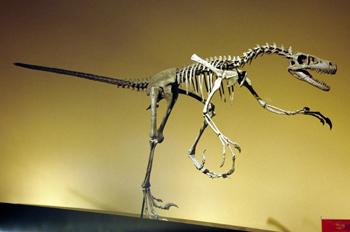 Dromaeosaurus (Dinosauria, Theropoda), Museo del Jurásico de Ast