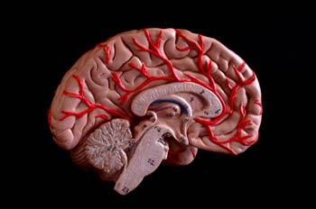 Sección Cerebro