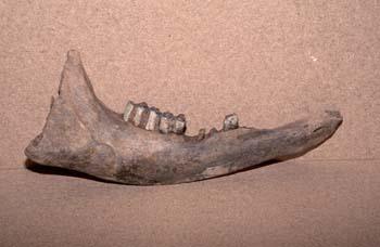 Bison sp. (Mamíferos) Holoceno