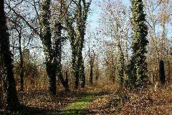 árboles cubiertos de hiedra en el Cementerio de Kerepesi, Budape