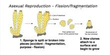 Sponge reproduction