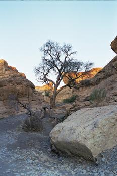 árbol superviviente en el Cañón de Sesriem, Namibia