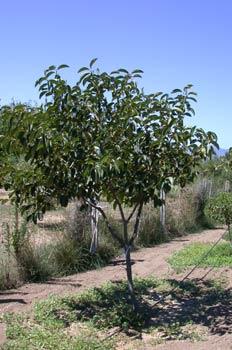 árbol del níspero