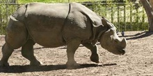 Rinoceronte indio (Rhinoceros unicornis)