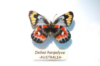 Delias harpalyce (Australia)