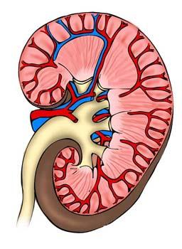 Sección de un riñón humano