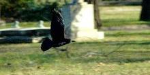 Cuervo en el Cementerio ce Kerepesi, Budapest, Hungría