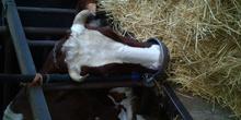 Vaca bebiendo