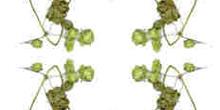 Simetría de la rama de lúpulo