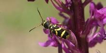 Escarabajo avispa (Clytus arietis)