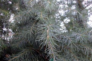 árbol, cedro (Cedrus deodara)