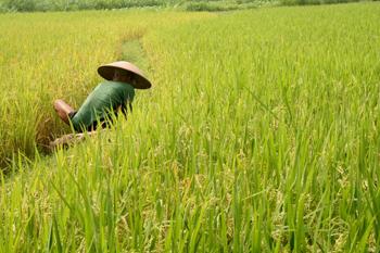 Trabajando en los arrozales, Jogyakarta, Indonesia