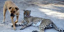 Perro y guepardo amigos, Namibia