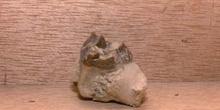 Oreodon-diente (Mamífero) Oligoceno