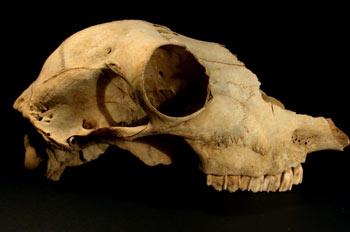 Cráneo prehistórico