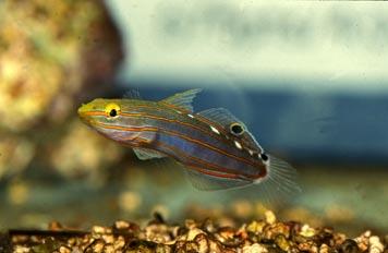 Gobio (Ambligobius sp.)