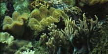 Coral blando (Alcionario)