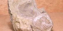 Braquiópodo (Braquiópodo) Jurásico