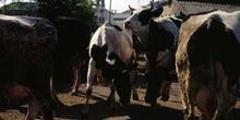 Vacas en un corral
