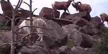Cabra de las Rocosas cabra blanca (Oreamnos americanus. Blainville, 1816)