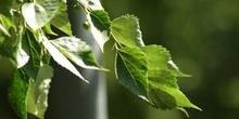 Almez del Caúcaso (Celtis caucasica)