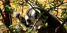 Lémur de cola anillada (Lemur catta, Linnaeus 1758)