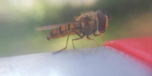 Insecto polinizador