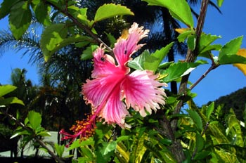 Flor del Pacífico, Australia