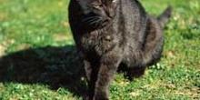 Animal, gato de color negro
