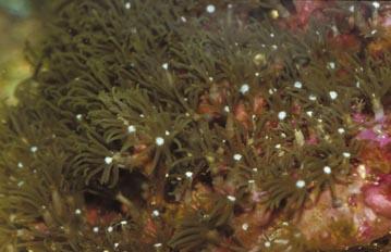 Coral (Clavularia sp.)