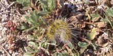Limántrido - Oruga (Lymantridae fam.)