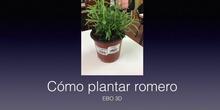 CÓMO PLANTAR ROMERO