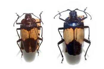 Pyrodes sp. (Suramérica)