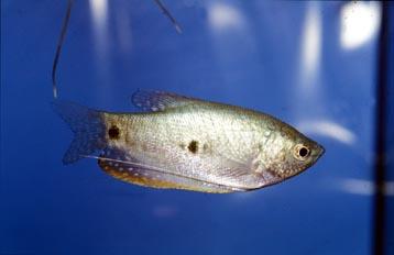 Gurami azul (Trichogaster trichopterus)